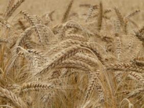 wheat-8762_1920